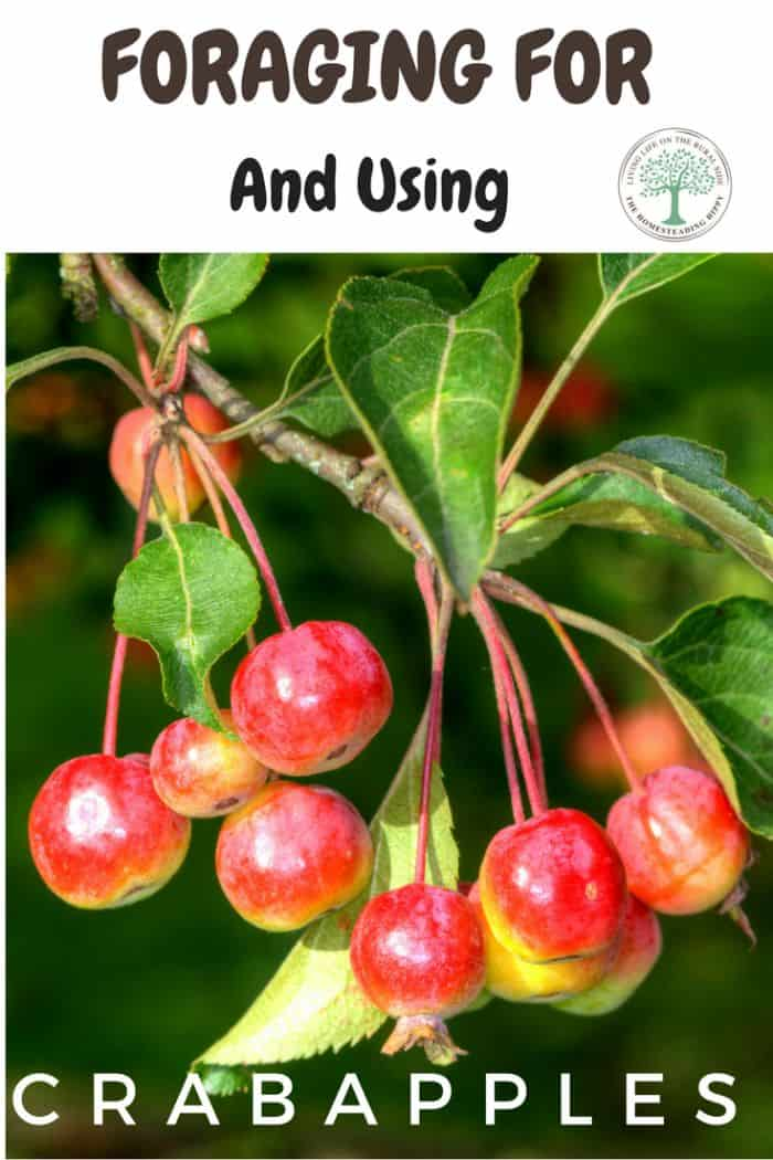 Foraging For CrabApples pinterest