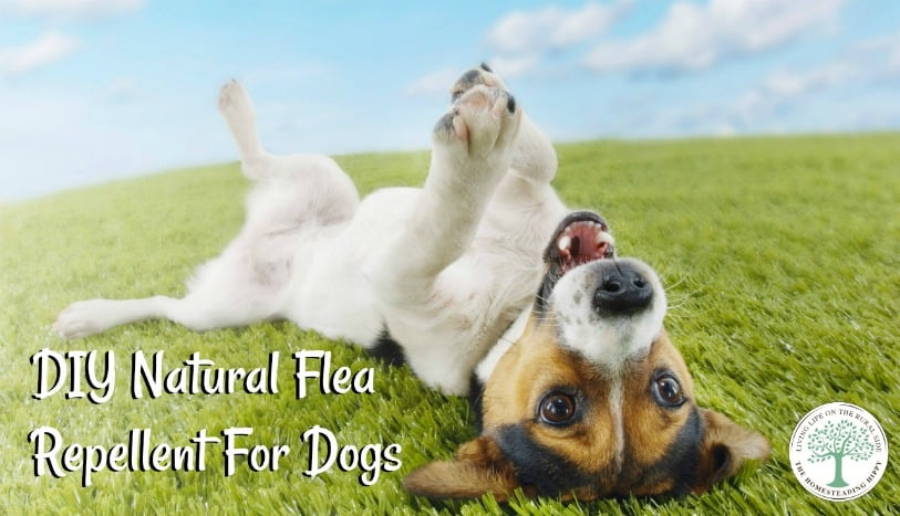 Our all-natural flea repellent powder works against fleas by dehydrating them, interferes with their hormonal system making it harder to lay eggs and repels them. The Homesteading Hippy