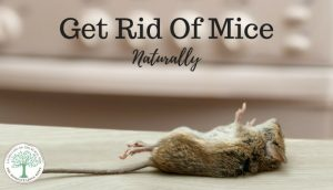 How To Get Rid Of Mice Infestation Naturally