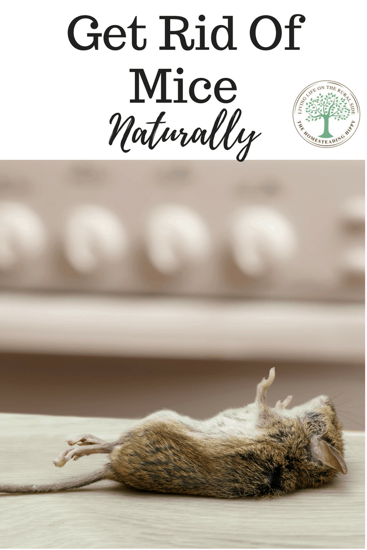 Having just 2 mice can mean many more in just a short time. Chemical baits are not always the best option, as they may poison the owls that would eat the mice. Fortunately, there ARE natural ways to get rid of mice. The Homesteading Hippy