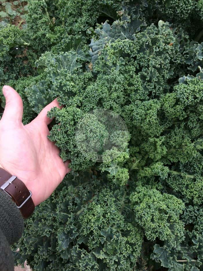 KALE IN HAND