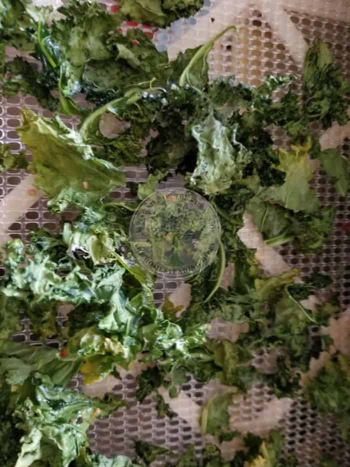 kale in dehydrator tray