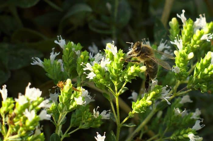 bee pollinating marjoram