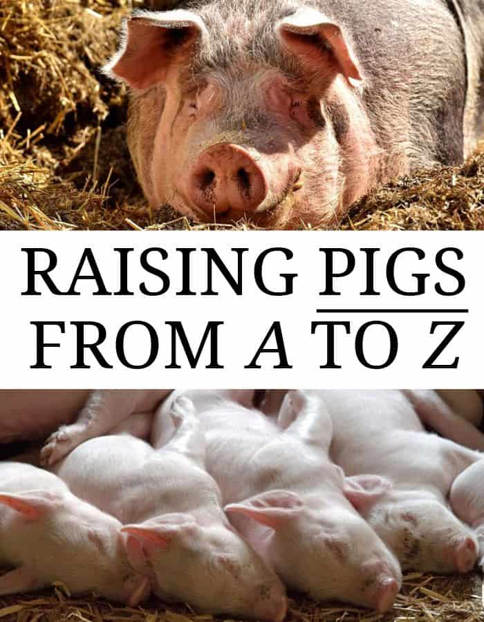 raising pigs pin