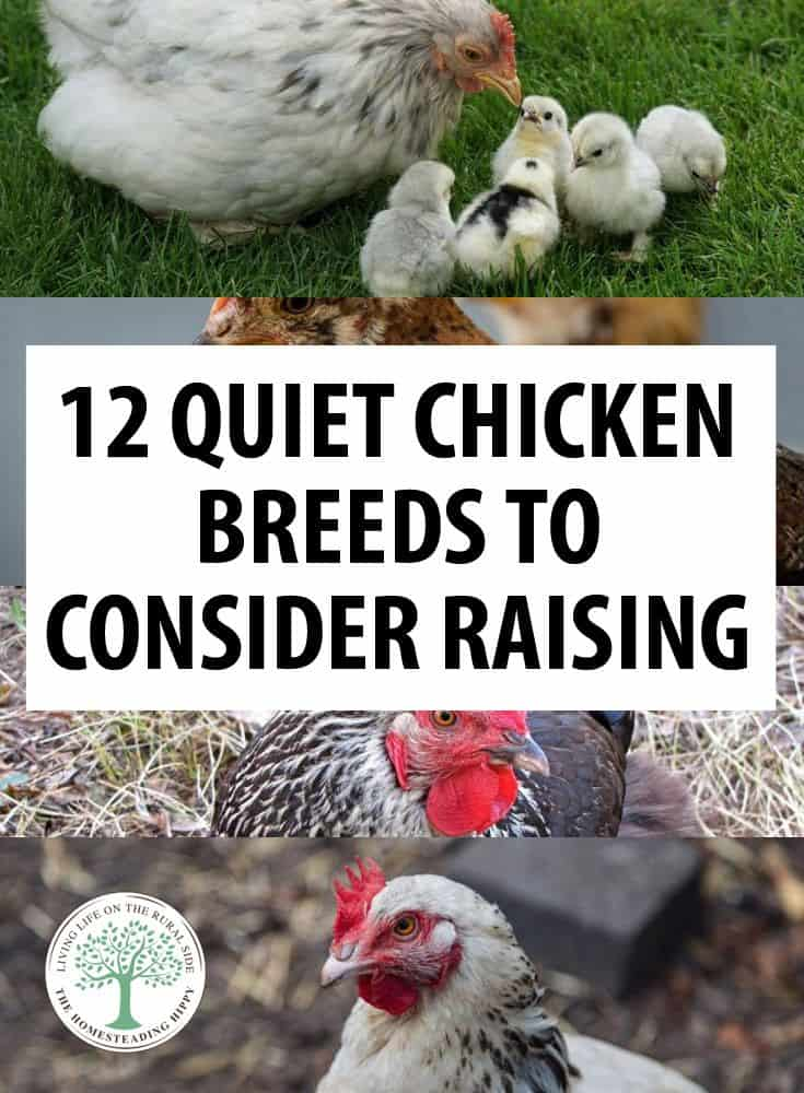 Quiet Chicken Breeds pin