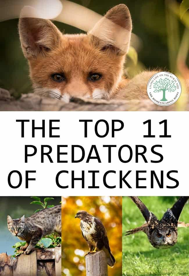 chickens predators pin