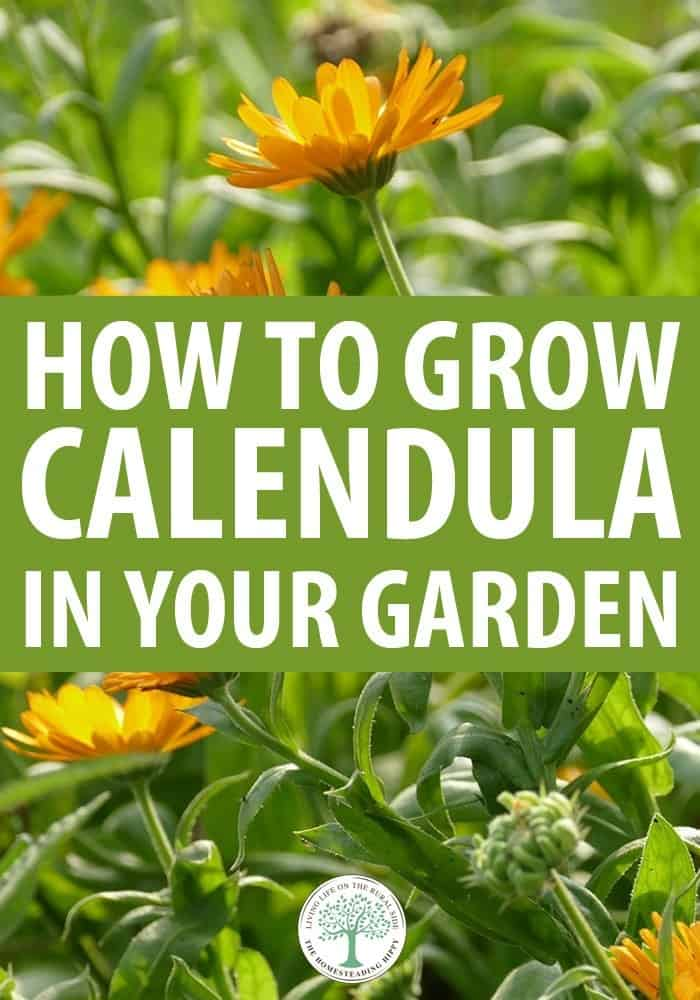 how to grow calendula pin