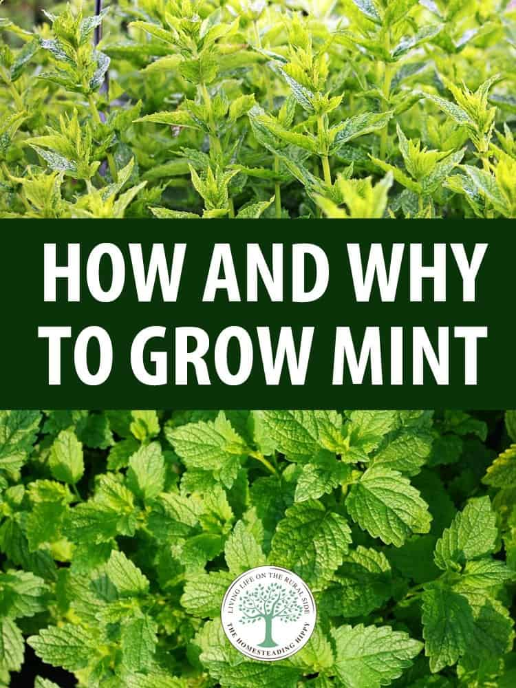growing mint pin