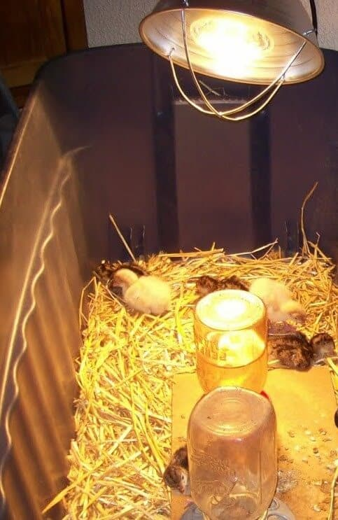 baby chicks and heat lamp