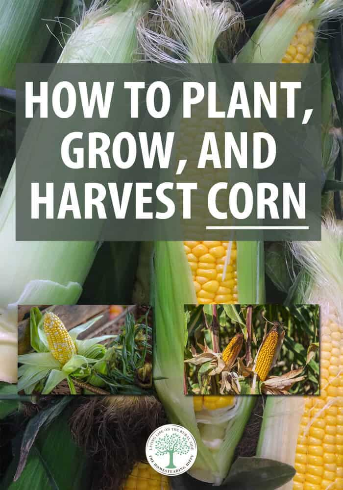 growing corn pin