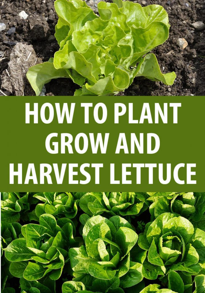 growing lettuce pin