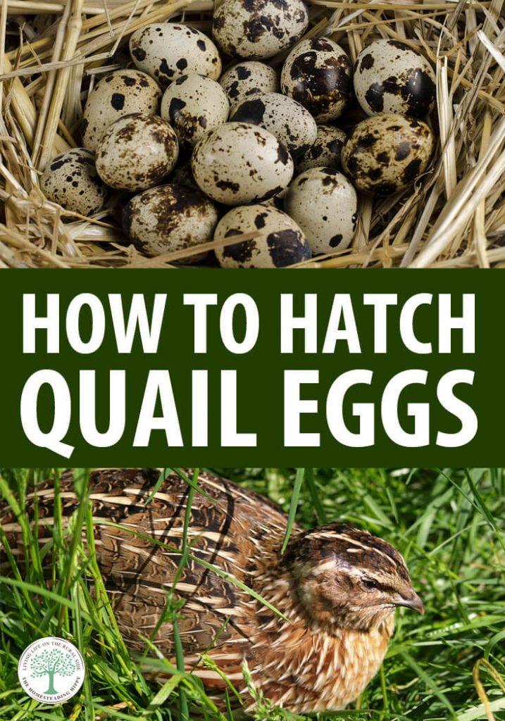 hatch quail eggs pin