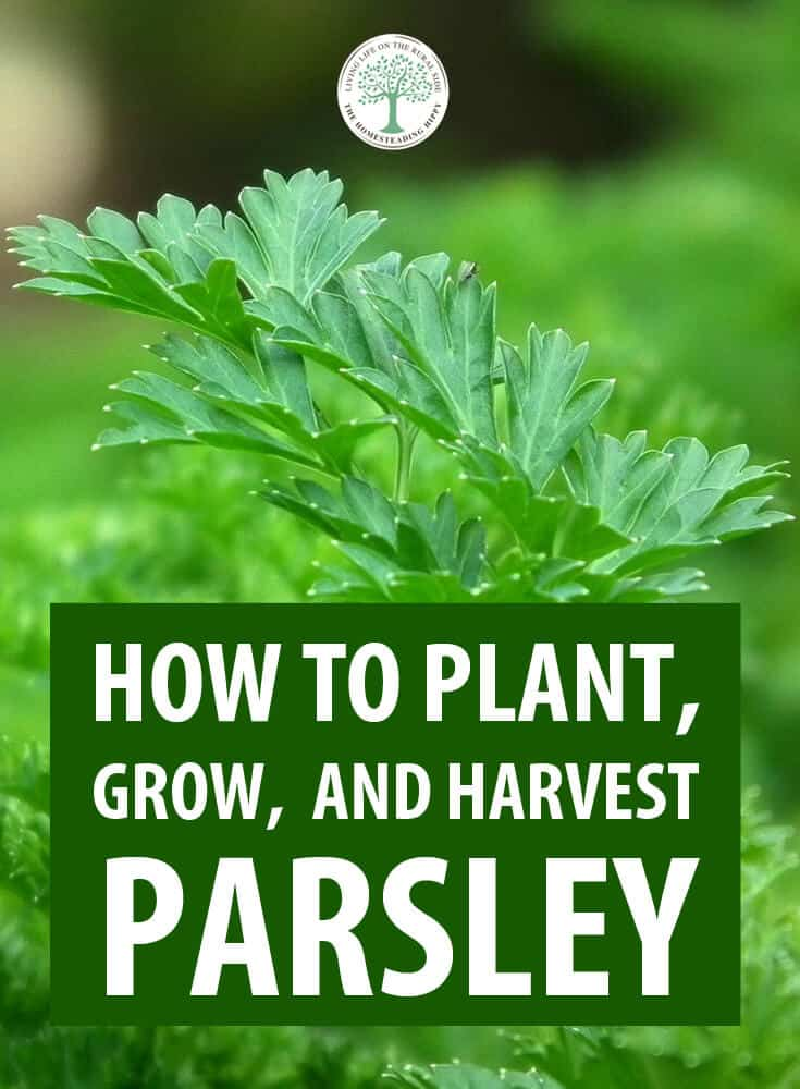 growing parsley pinterest