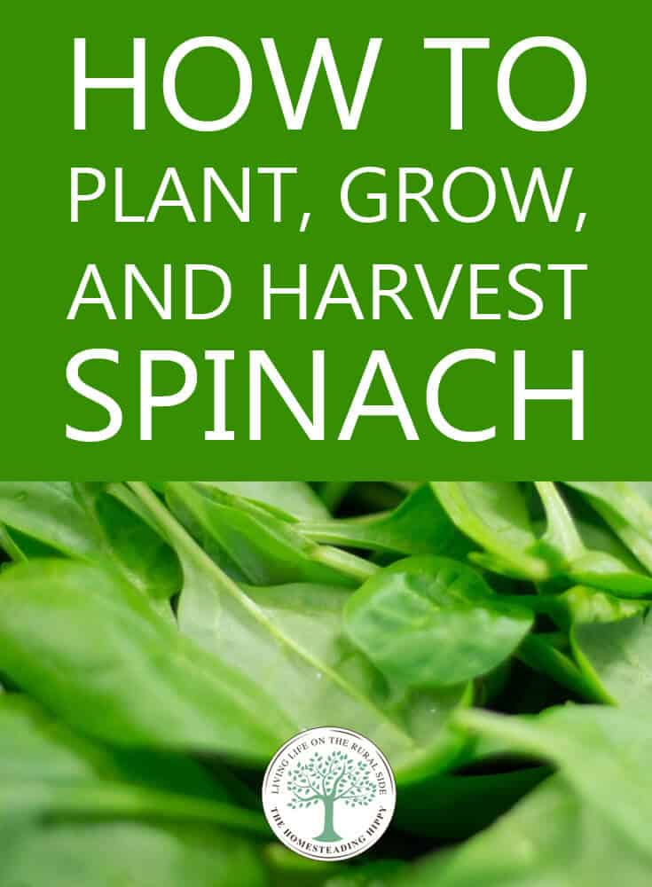 how to grow spinach pinterest image
