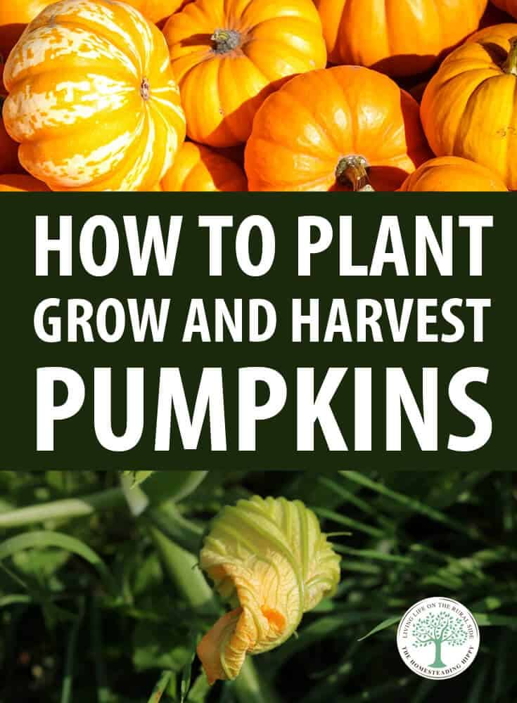 growing pumpkins pinterest