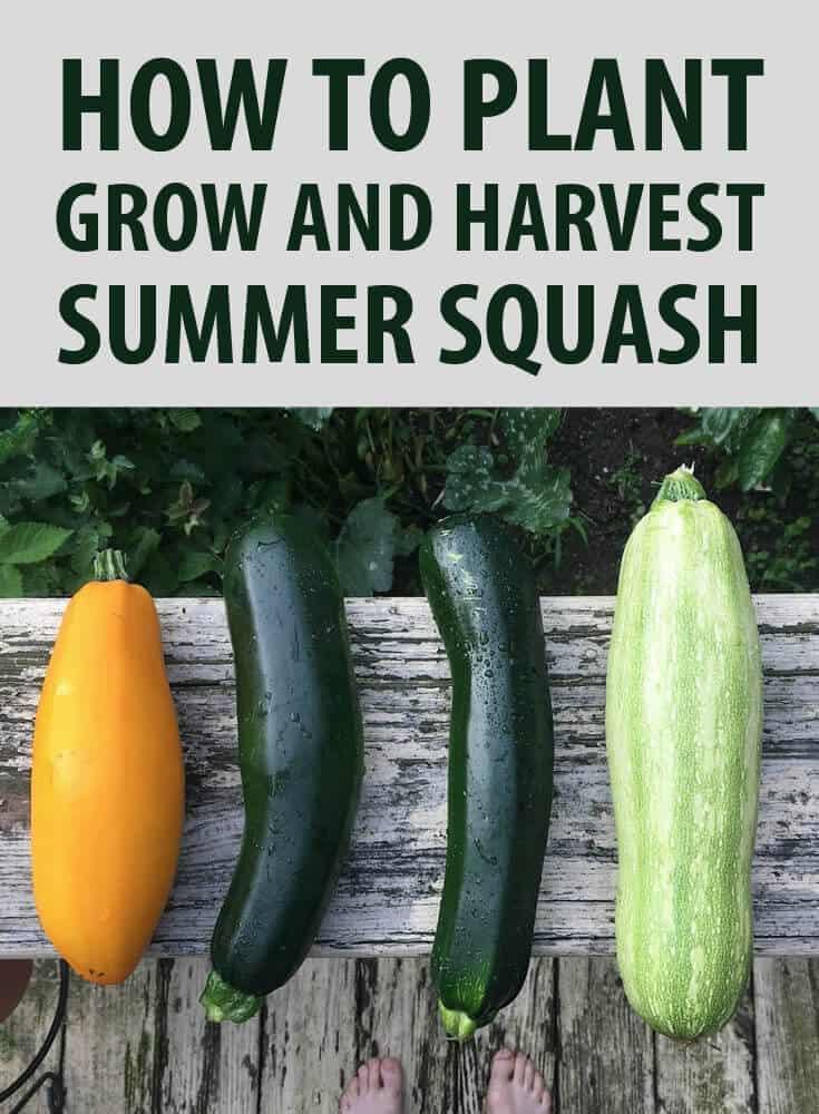 growing squash pin