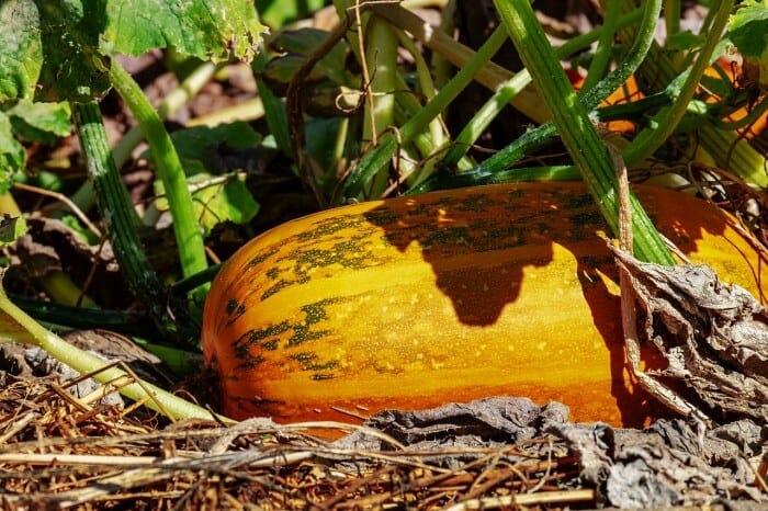 pumpkin plant