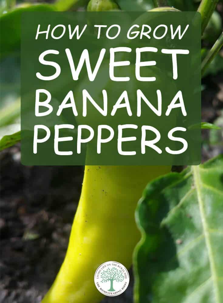 sweet banana peppers pin