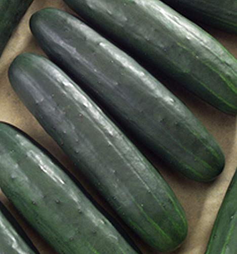 Dasher II cucumber variety