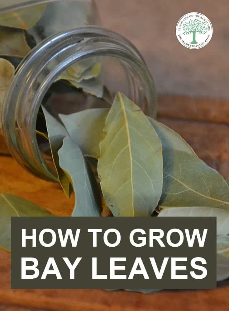 growing bay leaves pin