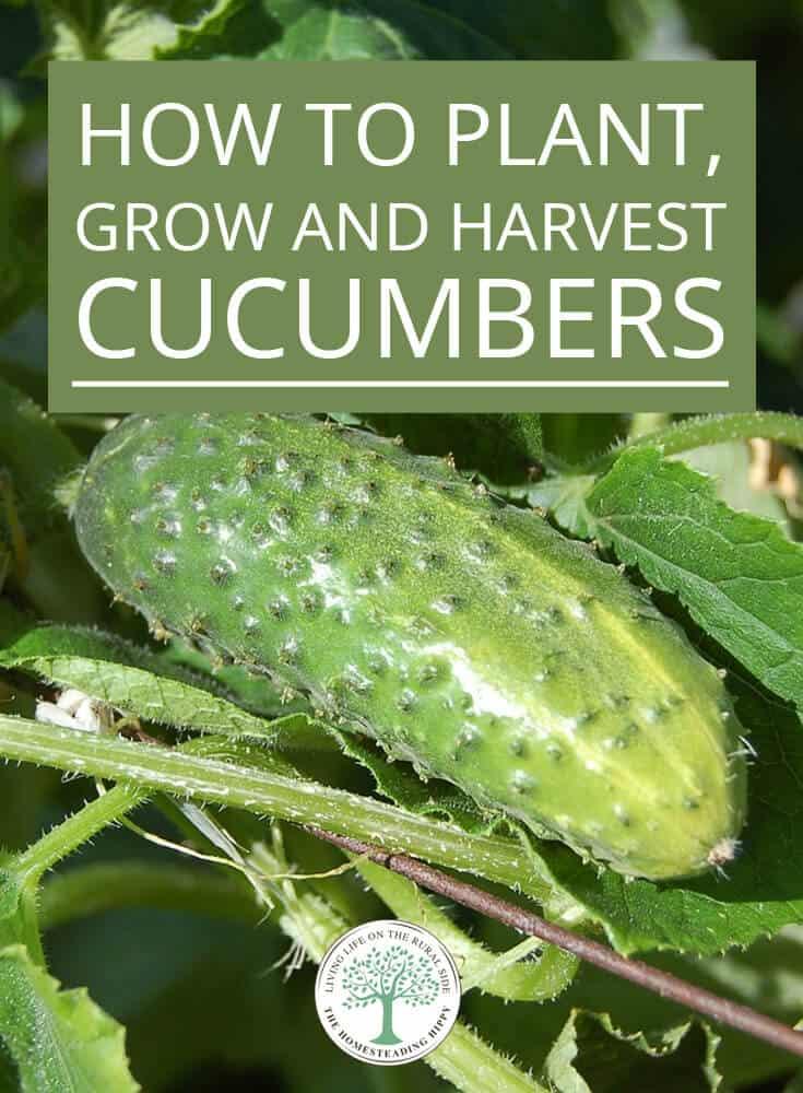 growing cucumbers pin