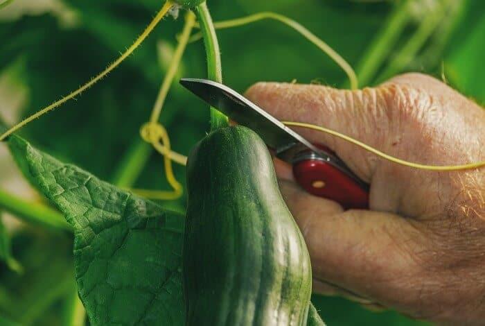 harvesting a cucumber