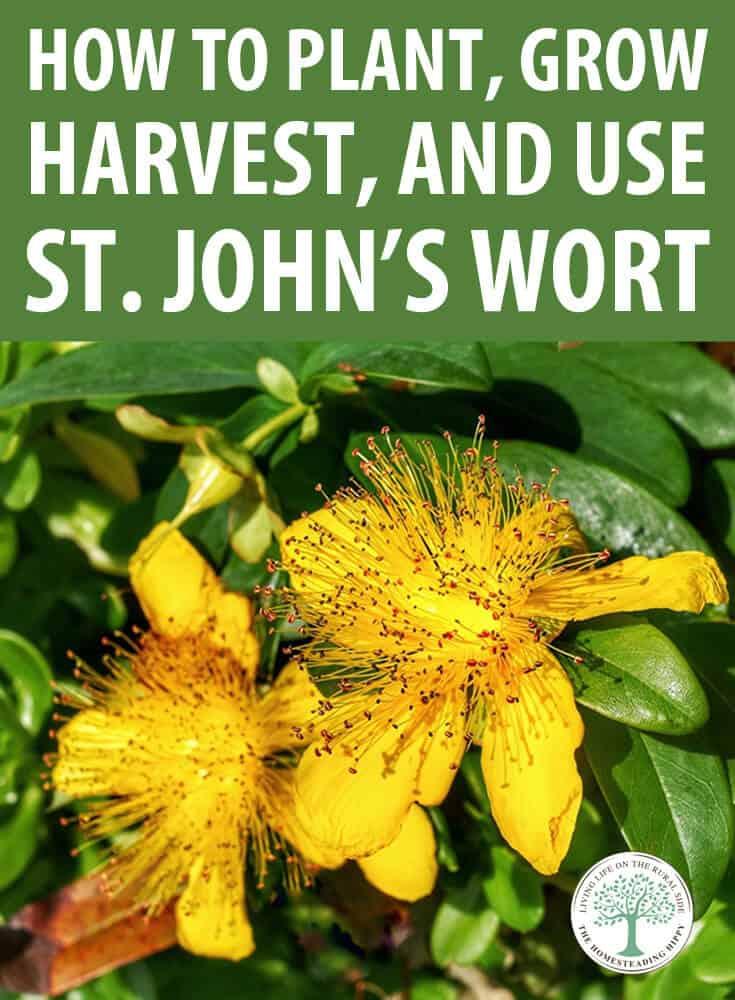 growing st. john's wort pin