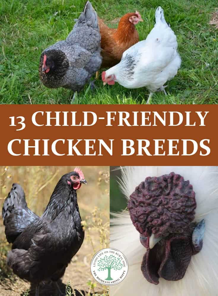 child friendly chicken breeds pin