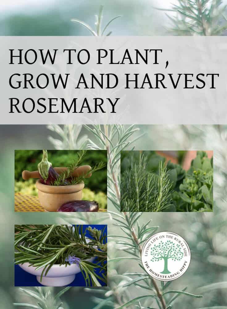 growing rosemary pin