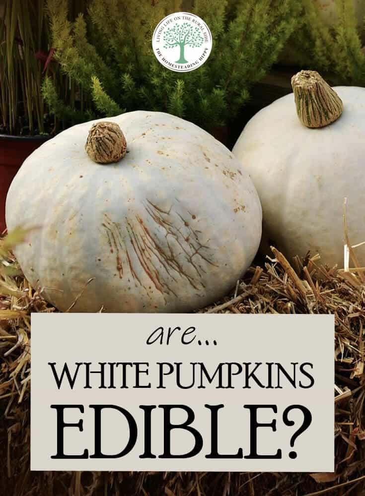 white pumpkins edible pin