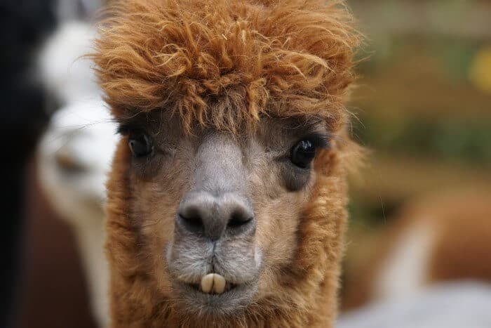 alpaca showing its teeth