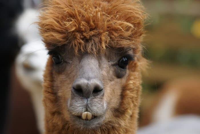 alpaca showing its teeth