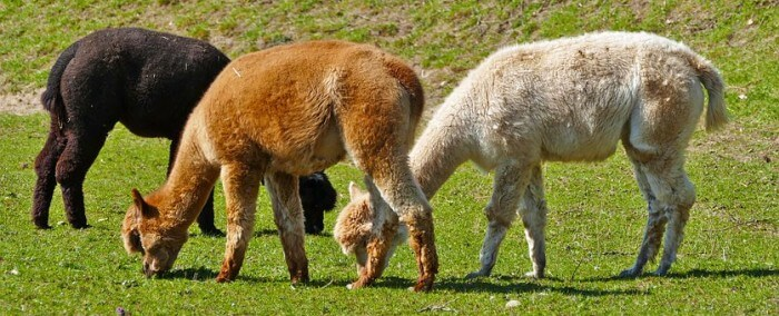 alpacas in various colors