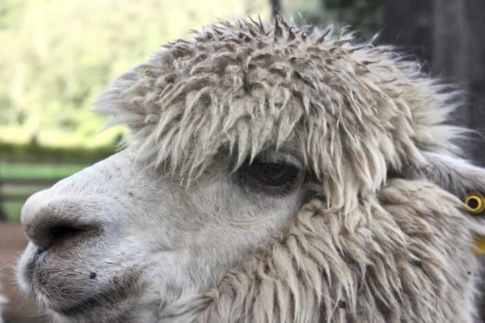 close-up of alpaca head