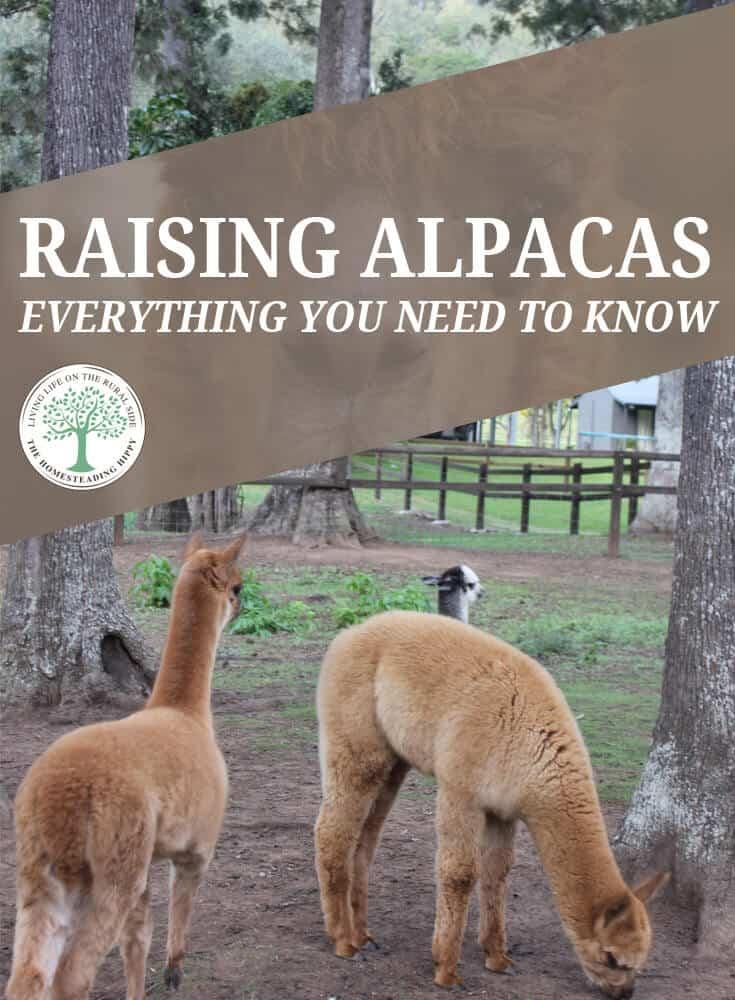 raising alpacas pin