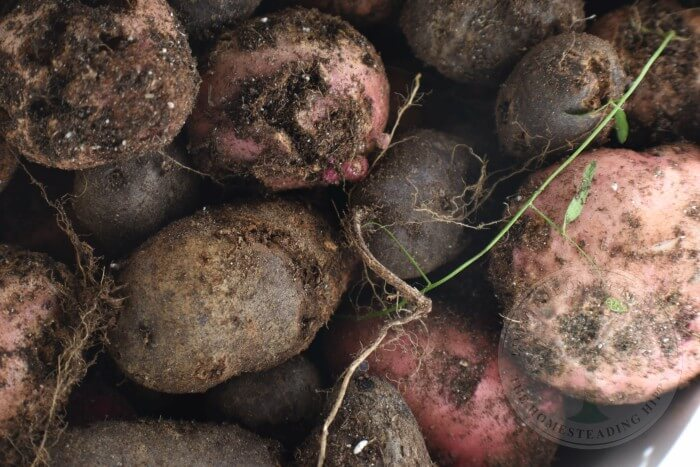 best potatoes for canning
