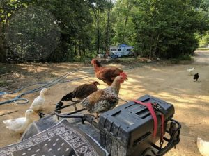 chickens on atv