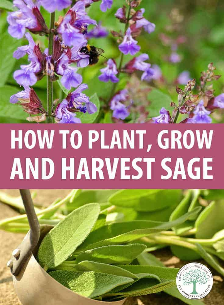 growing sage pin