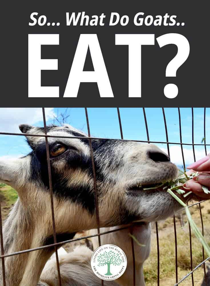 what do goats eat pin