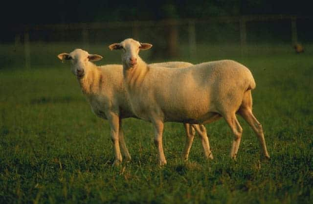 a couple of  St. Croix sheep