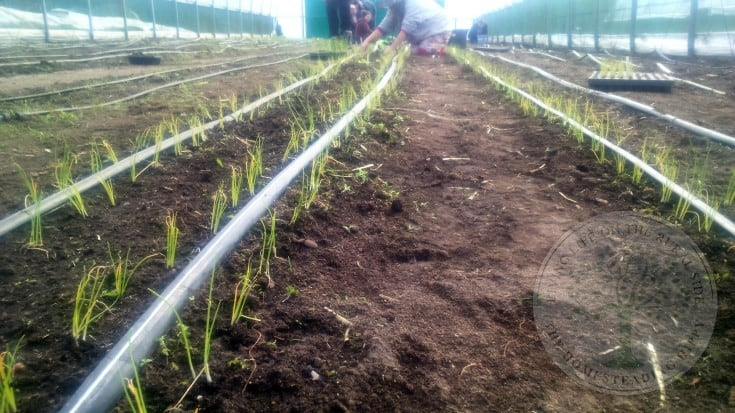 Drip irrigation for seedlings