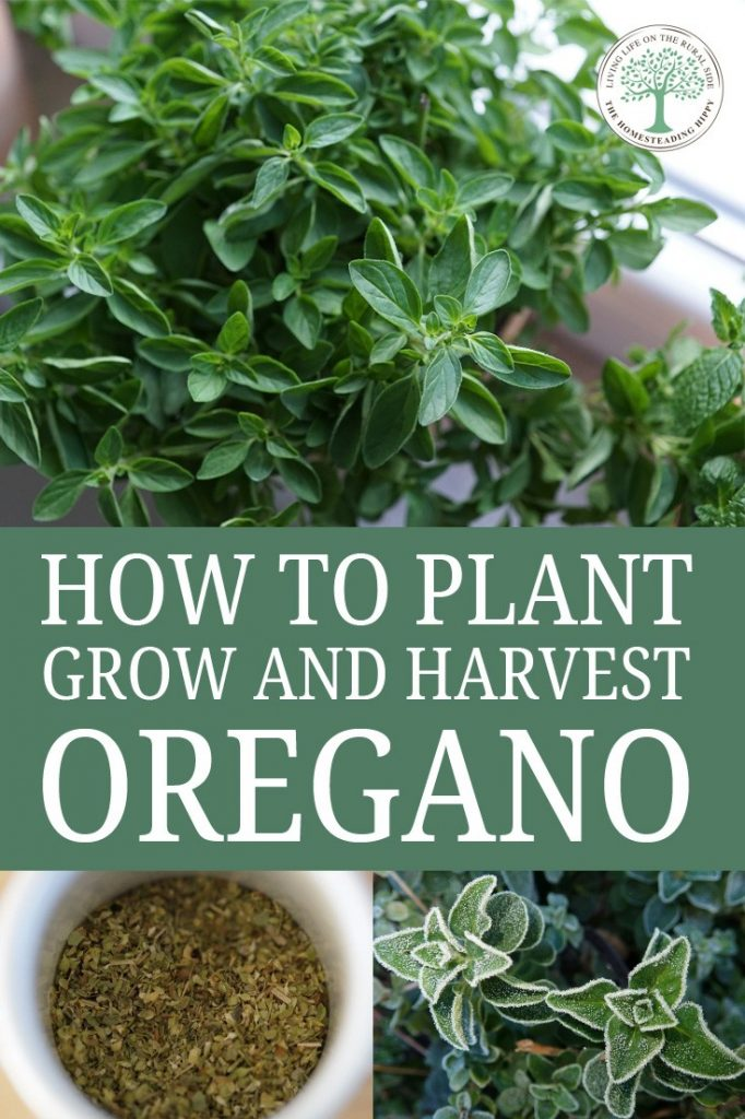 growing oregano pin