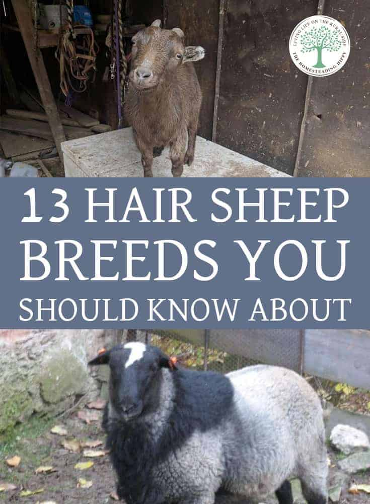 hair sheep breeds pin