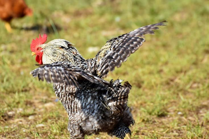 rooster ready to attack