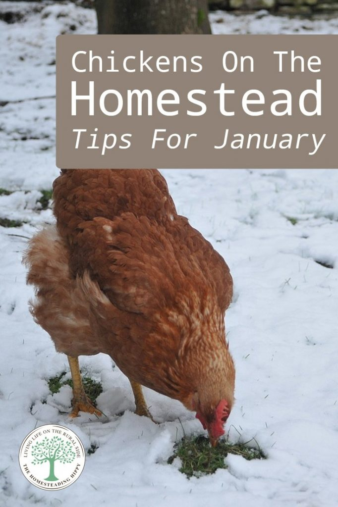 chickens in January pin