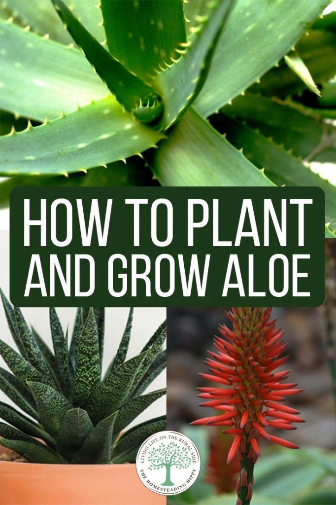 growing aloe pin