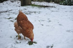 hen in the winter