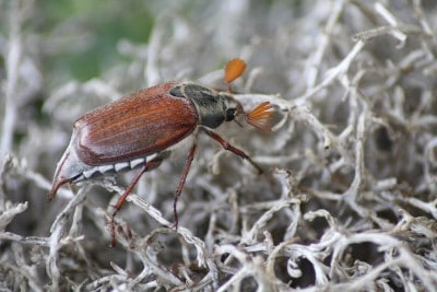 cockchafer aphid