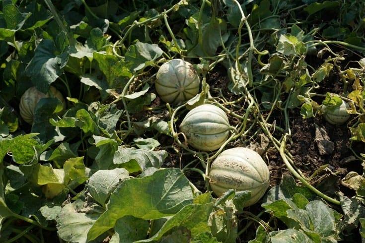 green cantaloupes