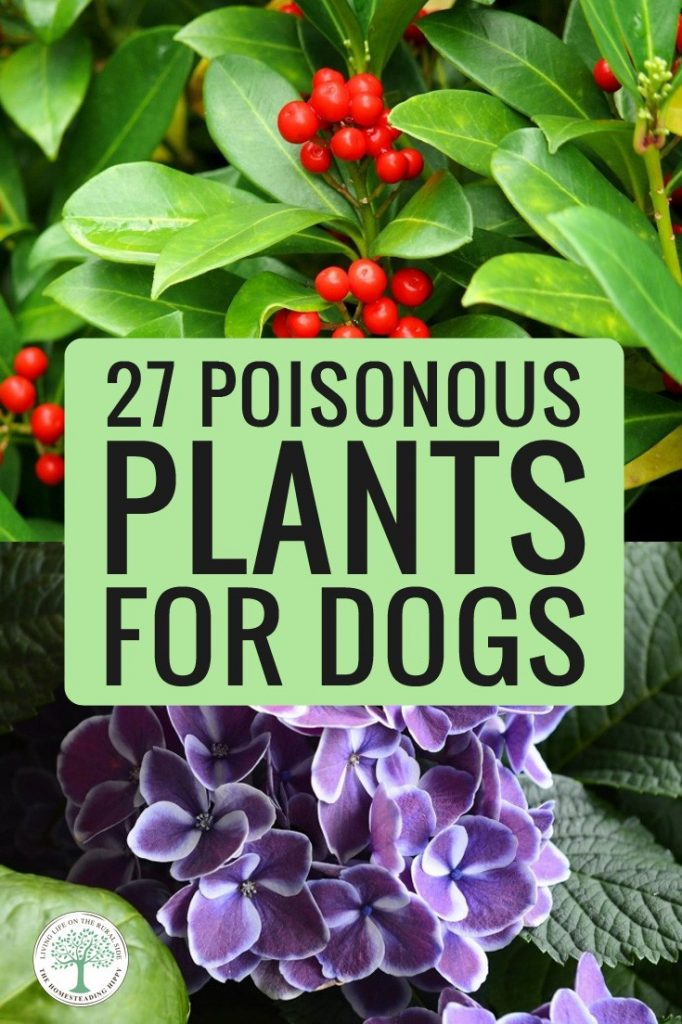poisonous plants for dogs pin